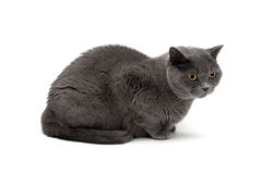 Gray cat breeds Scottish Straight isolated on white background Stock Photography