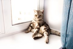 Gray cat of british breed sitting on a white windowsill. Gray tabby cat of british breed sitting on a white windowsill royalty free stock photo