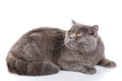 Gray cat british straight lying on a white background Stock Photo