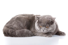 Gray cat british straight lying on a white background Stock Photos