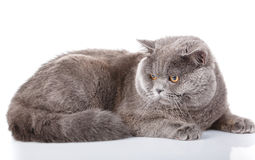 Gray cat british straight lying on a white background Stock Images