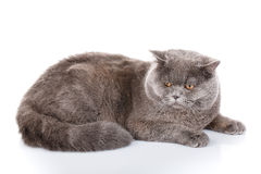 Gray cat british straight lying on a white background Royalty Free Stock Images
