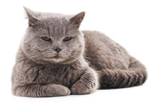 Gray cat with brown eyes. Gray cat with brown eyes on white background royalty free stock photography