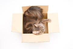 Gray cat in cardboard box Stock Photos