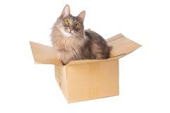 Gray cat in cardboard box Stock Photo
