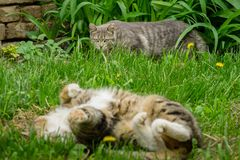 Gray cat is carefully sneak up behind a larger adult cat that r. Elaxed lying on the back in a green grass royalty free stock image