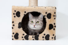 Gray cat in cats house isolated Stock Photos
