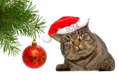 Gray  cat with christmas ball. Stock Image
