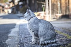Gray cat chubby pussy cat in old village. Cat in the ancient village of Tsumagojuku Village, Nagano City, Japan stock photography