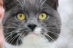 Gray cat close-up Stock Photos