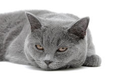 Gray cat close-up on white background Royalty Free Stock Photography