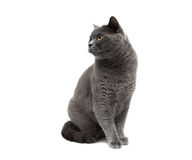 Gray cat close-up on a white background Stock Images