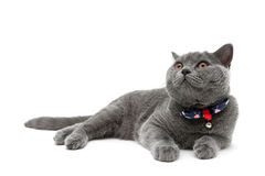 Gray cat close-up on white background Royalty Free Stock Images