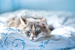 Gray Cat comfortably lies in a blue fabric linen Royalty Free Stock Photos