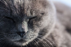 Gray Cat Cool Face Stock Photo