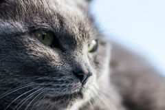 Gray cat cool face Stock Photography