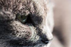 Gray cat cool face Stock Photos