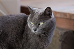 Gray cat cool face Royalty Free Stock Images