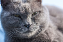 Gray cat cool face Royalty Free Stock Photography