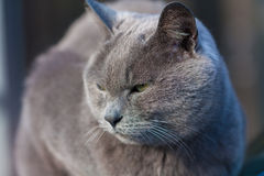 Gray cat cool face Stock Image
