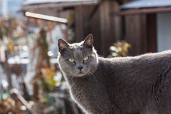 Gray cat cool face Royalty Free Stock Photo