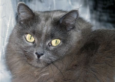 Gray Cat dai capelli lunghi Fotografie Stock