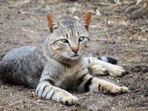 Gray Cat royalty-vrije stock foto