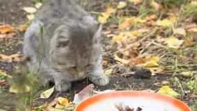 Gray Cat die zijn voedsel eten stock footage