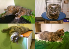 Gray cat in different poses Royalty Free Stock Images