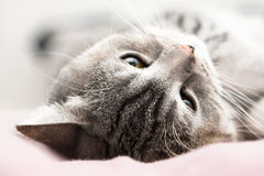 Gray cat dream. British Short, hair cat with yellow eyes Royalty Free Stock Photography