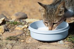 Gray cat drinking milk in bowl stock images
