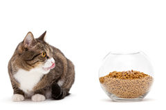 Gray cat and dry food Stock Photography