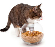 Gray cat and dry food Royalty Free Stock Photo