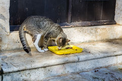 Gray cat eat food on street in Perast city, Montenegro Stock Images
