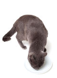 Gray cat eating Stock Photo