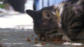 Gray Cat Eats Cat Food sans abri sur la rue banque de vidéos