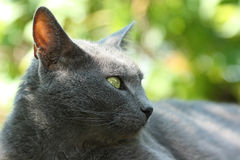 Gray cat. Stock Photos