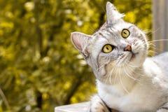 Gray cat with expressive eyes looks on autumn yellow garden. Gray cat with expressive looking on autumn yellow stock photos