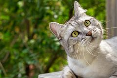 Gray cat with expressive eyes looks on green garden blurred background. Gray cat with expressive looking on a blurred leaves background royalty free stock images