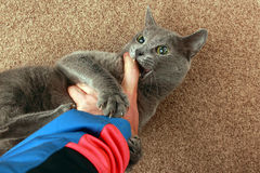 Gray cat grabbed the hand claws and bites. The gray cat grabbed the hand claws and bites stock images