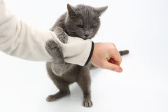 Gray cat grabbed his hand paws on white background. The gray cat grabbed his hand paws on white background royalty free stock photography