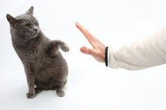 Gray cat grabbed his hand paws on white background Stock Photo