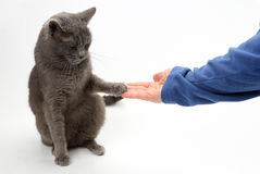 Gray cat grabbed his hand paws on white background Royalty Free Stock Photos