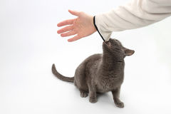 Gray cat grabbed the teeth of the human hand. The gray cat grabbed the teeth of the human hand stock photography