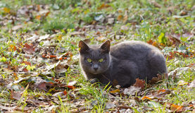 Gray Cat on the Grass. Among fallen leaves in an autumn landscape Stock Photos