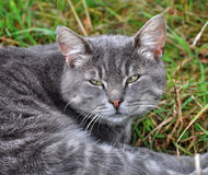 Gray cat on a grass Royalty Free Stock Image