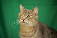 Gray cat on a green Royalty Free Stock Photos