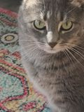 Gray cat with green eyes on colorful rug royalty free stock photos