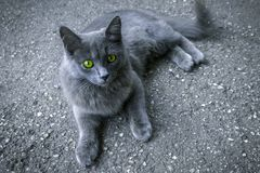 Gray cat with green eyes stock photo
