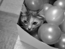 Gray cat in a box with balls stock image